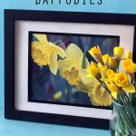Spring Daffodils Photo Download