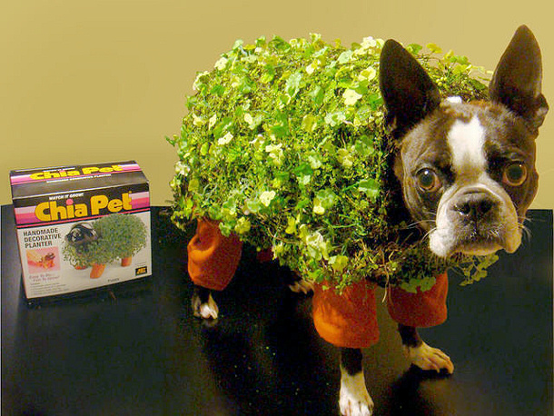 A word from Courtney, the 'Chia Pet' costume creator: Emmy is my 3 year old Pug. I was trying to figure out what to dress Emmy up as for Halloween and I thought Chia pet because her face looks just like a chia pet.